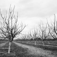 Day 641 [3/22/15]: Slumber (Buuck Photography) Tags: california trees winter blackandwhite bw usa monochrome northerncalifornia rural square photography countryside pattern dailypic farming orchard rows norcal agriculture dailyphoto photooftheday sacramentovalley buttecounty project365 photoadaychallenge buuckphotos buuckphotography engineeredforest
