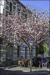 Bonn-Kirschbluete-21 (kurvenalbn) Tags: deutschland bonn pflanzen blumen nordrheinwestfalen frühling kirschbluete