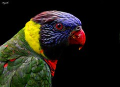 Nature's color palette | Lorikeet (Hayath) Tags: bird colors photography lorikeet 400mm