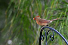 Female Cardinal making off with nesting material (blthornburgh) Tags: red bird nature backyard cardinal trellis nesting