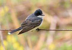 Eastern Kingbird (snooker2009) Tags: bird fall nature spring pennsylvania wildlife migration eastern kingbird