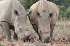 Pachyderm (tschoun.) Tags: africa travel southafrica wildlife conservation safari rhino samara