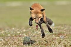 DB6_8646 (DouglasJB) Tags: jump cuteness foxes playful djbphotocom