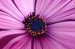 Blue Eyed Daisy (Beads N Resin) Tags: pink blue orange flower nature flora backyard pretty purple centre australia center nsw daisy africandaisy osteospermum blueeyeddaisy romina01 rom01 romina