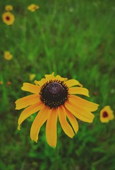 Allergy Season: part 2 (Ma Zhengfang) Tags: galveston flower flora texas wildflower blackeyedsusan