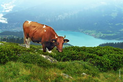 Swiss-Kuh (welenna) Tags: blue summer sky mountain lake mountains alps animals landscape switzerland see tiere kuh cow view berge alpen niederhorn schwitzerland