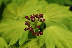 Ahorn Flower (Hugo von Schreck) Tags: flower macro green makro blten onlythebestofnature tamron28300mmf3563divcpzda010 canoneos5dsr hugovonschreck ahornflower