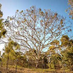 Gum Tree (Quick Shot Photos) Tags: victoria gumtree sunburyg1xtestfz1000test