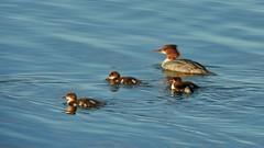 Family outing (KaarinaT) Tags: swim finland t evening helsinki peaceful serene fowl vuosaari goosander turquoisewater kallahti kallahdenniemi turquoisesea isokoskelo