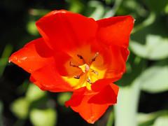 wiosna Frhling spring in unsern Garten (arjuna_zbycho) Tags: flowers flower spring blumen tulip blume kwiaty tulipa frhling tulpen tulipano wiosna tulipes kwiat tulipan tulipn badenbeiwien lale tulppaanit   laleaua