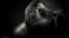 Gabon's Spirit (Pilouchy) Tags: africa wild portrait bird nature birds gris eyes spirit free bec oiseau esprit plume afrique gabon