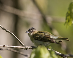 Red-eyed Vireo (J.B. Churchill) Tags: allegany birds maryland places revi redeyedvireo rockygapsp taxonomy vireonidae vireos flintstone unitedstates us