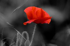 DSC_5978 (Bruno ArtPhoto) Tags: poppy coquelicot flower flowers tamron rouge red nature explore pavots poppies poppi