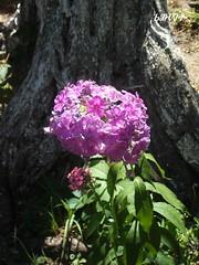 / Big and little (ruta / ) Tags: pink light summer flower tree green urbannature