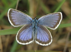 Silver-studded Blue (Plebejus argus) Male (Rezamink) Tags: uk butterflies plebejusargus silverstuddedblue