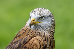 Red Kite (Pawel Skov) Tags: