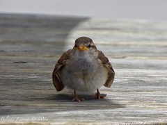 Friendly Cheeky Bird. (Belinda Fewings (3 million views. Thank You)) Tags: belindafewings panasoniclumixdmc bokeh city street seaside colour colourful artistic pbwa creativeartphotograhy creative arty beautiful beautify beauty lovely outdoors outside out best depthoffield july angry birds bird sparrow rspb nature bankesarms studland dorset angrybirds one 1 close friend bbcspringwatch bbcwinterwatch nationalgeographicwildlife