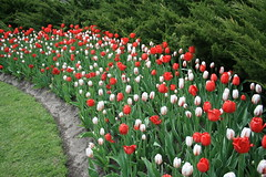 IMG_5495 (a_melie10) Tags: travel flowers ontario tulips ottawa tulipfestival