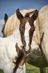 Terra (tamara.lsanchez) Tags: horse naturaleza nature caballo galicia colt pio pinto potro foal manchas