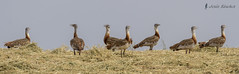 Avutarda (Otis tarda) (jsnchezyage) Tags: naturaleza bird fauna birding ave pjaro otistarda avutarda