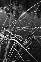 Reflections. (nooragraphs) Tags: blackandwhite plant reflections espoo finland nationalpark pond monogram nuuksio kansallispuisto mustalampi