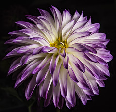 Purple And White Dahlia (Bill Gracey) Tags: dahlia flower color nature fleur colorful flor symmetry naturalbeauty softbox softlight sandiegocountyfair darkbackground directionallight offcameraflash floralphotography lastoliteezbox yongnuorf603n yn560iii