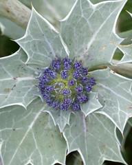 Sea Holly (Eryngium maritimum) (greggys stuff) Tags: seaholly eryngiummaritimum oxwich gower june umbelliferae