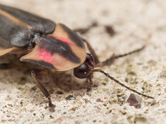 Firefly (Photinus pyrali) with Pink Spots on Shell Crawls on Concrete Surface (Steven Ellingson) Tags: park pink camping light summer plant detail macro nature grass animal closeup forest bug garden insect fire fly leaf outdoor wildlife flash helmet beetle shell glowing lightning crawl firefly lightningbug photinus photinuspyrali