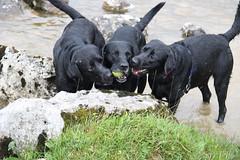 The Three Amigos (popmanstensgaard) Tags: dog dogs labs labradors blacklabs blacklabradors