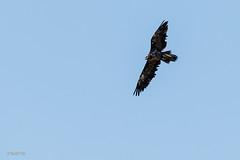 Gypate barbu (Bastik, 3 ans) (sfrancois73) Tags: oiseau faune gypatebarbu