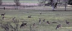 The Gang's All Here (Beyond the Trail) Tags: california mountains doe deer spike neighbors trinitycounty odocoileushemionuscolumbianus garytrinity columbianblacktailed