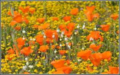 Cream Cup Bouquet (tdlucas5000) Tags: california bokeh poppies lancaster wildflowers bouquet eschscholzia californiapoppy californica goldfields creamcups
