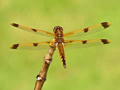 golden dragonfly on green (painted skimmer) (robertskirk1) Tags: nature golden virginia flickr dragonfly wildlife animalplanet mclean planetearth goldendragonfly ourplanet kentgardenspark goldendragonflyongreen