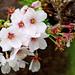 Cherry Blossoms (Yoshino Cherry Tree) : ソメイヨシノ(染井吉野)