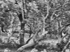 Flight (Kingshuk Mondal) Tags: bird flying flight owl kingshuk sundarban sundarbannationalpark kingshukmondal