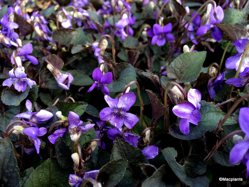 Viola riviniana Purpurea Group