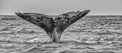 Whale Tale in Black & White (murali_n) Tags: mexico blackwhite tail bajacalifornia whales migration graywhales lagunaojodeliebre