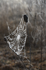 IMG_6846 (migles69) Tags: morning nature spider spring meadow trap fros toils