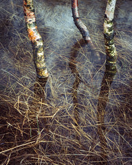 Steel End Birches, Thirlmere (colinbell.photography) Tags: