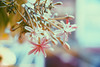 Pink time (iSam's) Tags: old pink flowers plants white flower vintage sony honeysuckle creeper rangoon 2015 indicum isam combretum vsco a6000