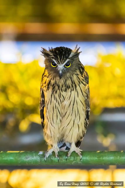Buffy Fish Owl (Ketupa ketupu)_DSC3699-1