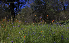 FOREST CLUMP (Day Night Tripper) Tags: california flowers trees light sky horses white lake fish mountains chickens nature water vegetables grass fruit clouds river landscape countryside potatoes pond oak sand corn rocks purple cows farm bees country blossoms barns nuts ducks villages canyon lemons boulders cotton goats pines honey drought pigs popcorn poppy poppies almonds crops streams carrots wildflowers oranges hay blooms tractors wildflower towns hive forests lupine gravel creeks orchards plows fiddleneck kernriver lakeisabella ranches kerncounty