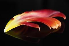 Red feather (sramses177) Tags: flower macro reflection olympus petal tulip blume blatt blte omd tulpe bltenblatt em10 1240