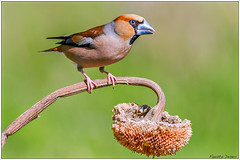 Frosone (Fausto Deseri) Tags: wild nature birds wildlife tc17eii hawfinch coccothraustescoccothraustes frosone parcodellapiana nikkorafs300mmf4 nikond7100