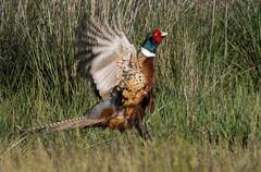 Ring-necked Pheasant (Eric SF) Tags: california bird fremont bestpractices coyotehillsregionalpark ebparks ebparksok ringneckedpheansant