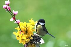 Chacun son bouquet. (mars-chri) Tags: iledefrance valdoise mâle mésangecharbonnière pécher butrysuroise forsyshia