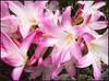AMARYLLIS-BELLADONA-.-HIPPEASTRUM-BELLADONA-. (TOYOGRACOR) Tags: pink flowers macro green fleur plantas blossoms jardin rosa bloom pinkflowers amarillis jardineria bulbosa belladona amaryllisbelladona mywinners aplusphoto floresrosa flickr´sfantasticflowers plantasbulbosas azucenarosa beautifulfloras estrelladecaballero hippeastrumbelladona floresatrompetadas bulbosdeamarillis
