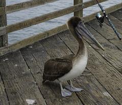IMGP6362b (rennyaz) Tags: ocean birds jetty pelican seashore renny