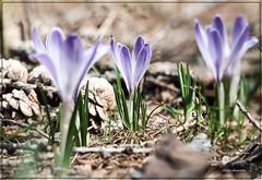 Crocus (EEMosThEw) Tags: flowers primavera spring fiori trentino