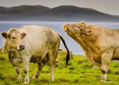 Ireland-109 (FOTOaRAY) Tags: ireland water grass bay cow gate cattle cows bullock bull eire fields nosering countymayo grazing hrv ire republicofireland killaryharbour irelandais contaemhaigheo